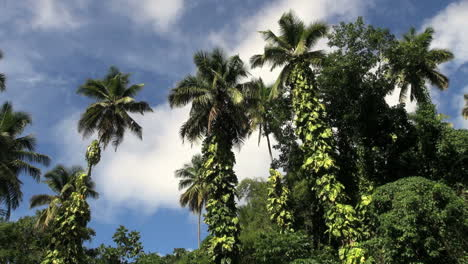 St-Lucia-palms-and-vines-moving-clouds