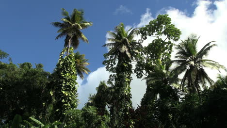 St-Lucia-palms-and-vines-timelapse
