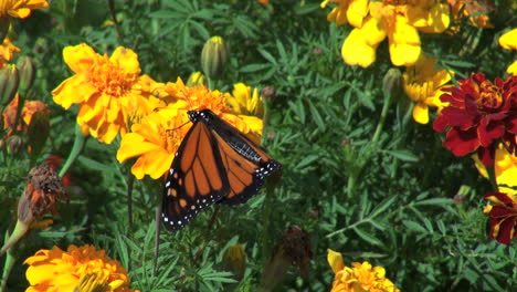 Marigolds-and-butterfly-flapping-wings