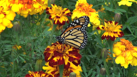 Marigolds-and-Monarch-butterfliy