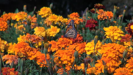 Marigolds-and-a-butterfly