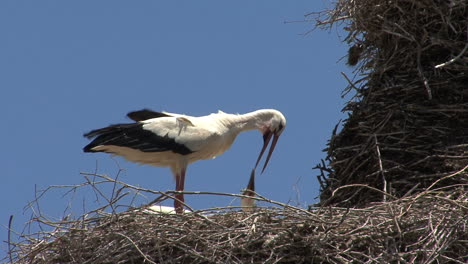 Spain-stork-on-nest-feeds-young