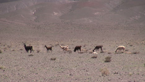 Chile-Atacama-llamas-graze-in-taupe-desert-5