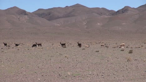 Chile-Atacama-llamas-lined-up-in-front-of-mauve-hills-5
