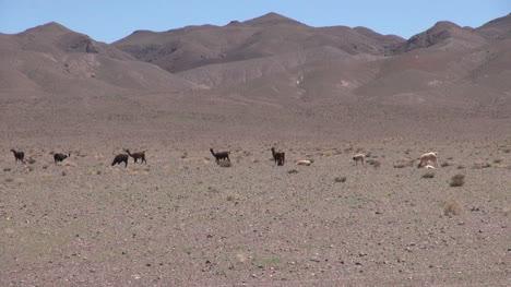 Chile-Atacama-Llamas-Alineadas-Frente-A-Colinas-Malva-5