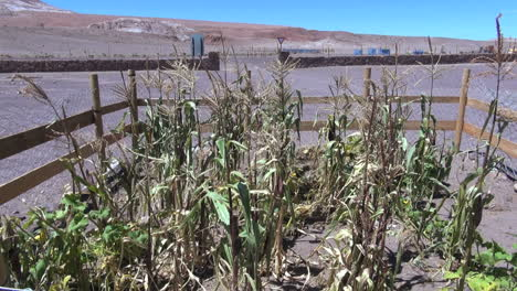 Chile-Atacama-struggling-corn-crop-2