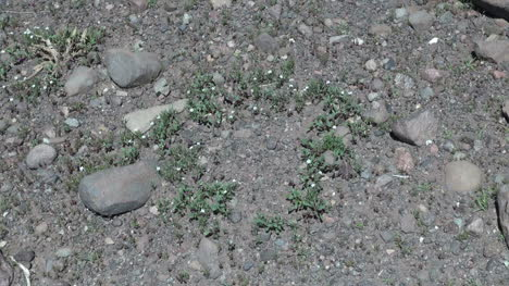 Chile-Atacama-plants-form-circle-on-rugged-ground-1