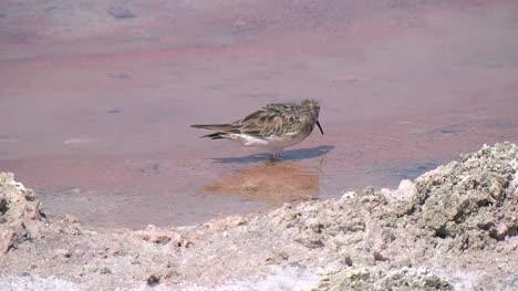 Chile-Atacama-Laguna-Chaxa-Bird-Probes-Pastel-Mud-1
