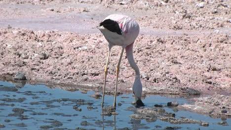 Atacama-flamingo-wading-in-a-pool