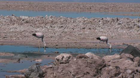 Atacama-flamingos-feed-in-a-pool
