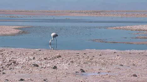 Atacama-zooms-in-on-flamingos