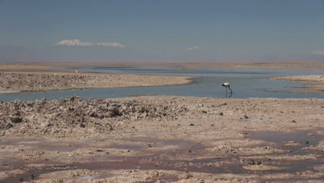 Chile-Atacama-Laguna-Chaxa-mud-paddy-and-bird-3