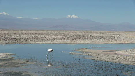 Chile-Atacama-Laguna-Chaxa-neck-in-shallow-water-9