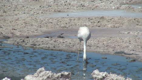 Atacama-Laguna-de-Chaxa-flamingo-feeds