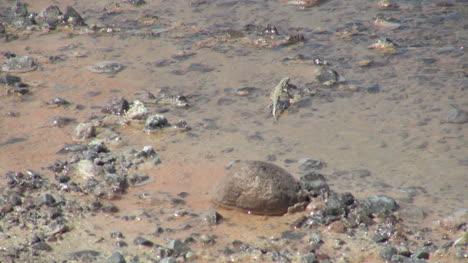 Chile-Atacama-Laguna-Chaxa-lizard-scampers-16