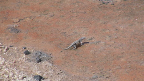 Chile-Atacama-Laguna-Chaxa-lizard-poses-then-darts-17