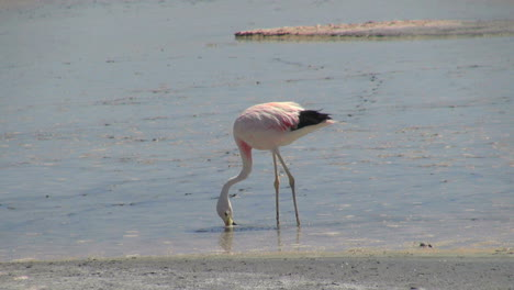Atacama-flamingo-feeds-in-the-Laguna-de-Chaxa