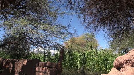 Atacama-oasis-corn-plants
