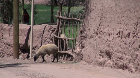 Atacama-San-Pedro-oasis-sheep-leaves-gate