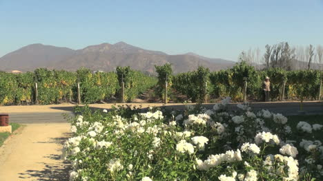 Chile-Casa-Blanca-Valley-vineyards-with-roses