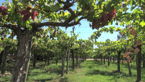 A-trellised-grape-vine-in-a-vineyard-in-Chile-s-Colchagua-Valley