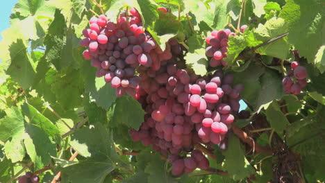 Chile-Colchagua-Valley-grapes-]