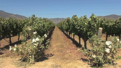 Chile-Santa-Cruz-vineyard-with-roses