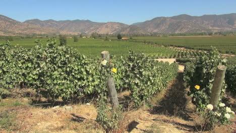 Chile-Santa-Cruz-vineyards-with-roses