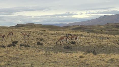 Torres-del-Paine-guanacos-s