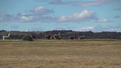 Patagonia-llamas