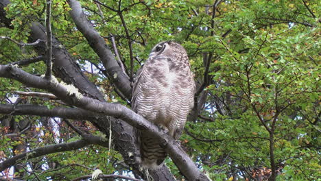 Patagonia-owl-turns-head-all-way