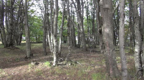 Patagonian-forest-s