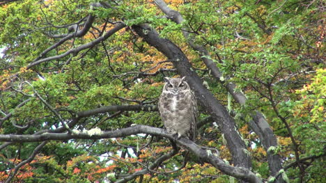 Patagonia-owl-in-tree