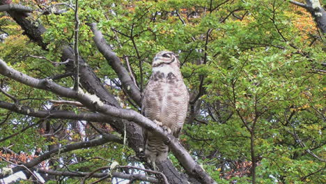 Patagonia-owl-scratches-and-puffs-up-feathers