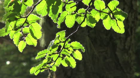 Patagonian-forest-sunlit-leaves-s