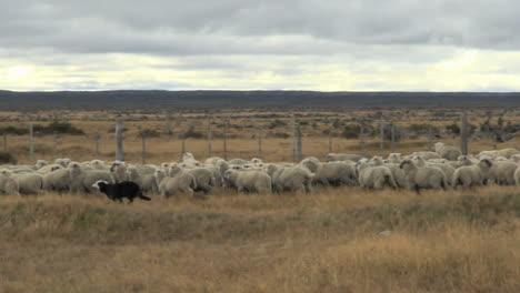 Patagonia-sheep-and-dog