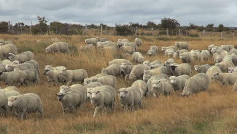 Patagonia-sheep