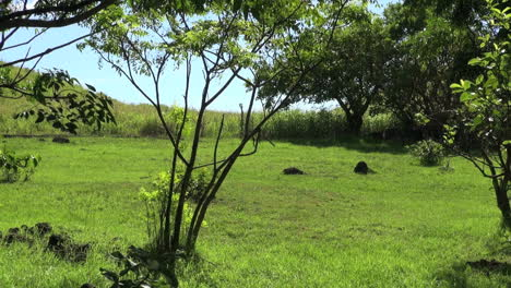 Easter-Island-Anakena-grassy-meadow-horses-10