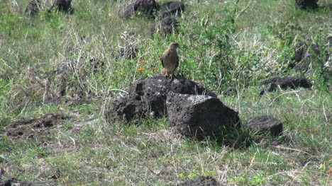 Easter-Island-lava-rock-and-bird