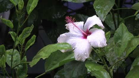 Easter-Island-raindrops-on-fluttering-white-hibiscus-3