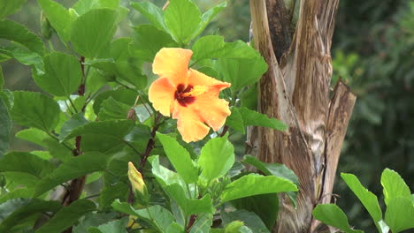 Easter-Island-yellow-hibiscus-in-rain-6
