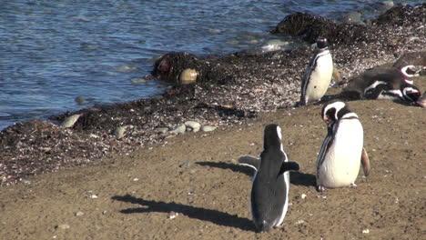 Patagonia-Magdalena-Pinguine-Strecken-Und-Flattern-Mit-Den-Flügeln-9a