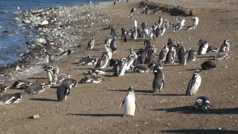 Patagonia-Magdalena-penguin-flock-and-shadows-8