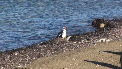 Patagonia-Magdalena-penguin-comes-ashore-9b