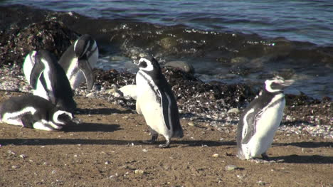 Patagonia-Magdalena-penguins-flap-and-preen-13