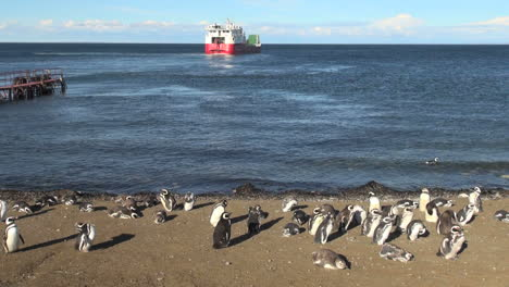 Patagonia-Magdalena-penguin-group-stands-as-red-ship-turns-12