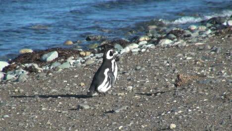 Patagonia-Magdalena-Pingüino-Caminata-Decidida-17