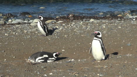 Patagonia-Magdalena-penguin-pushes-up-and-walks-off-14