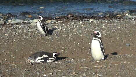 Pingüino-Patagonia-Magdalena-Empuja-Hacia-Arriba-Y-Se-Aleja-14