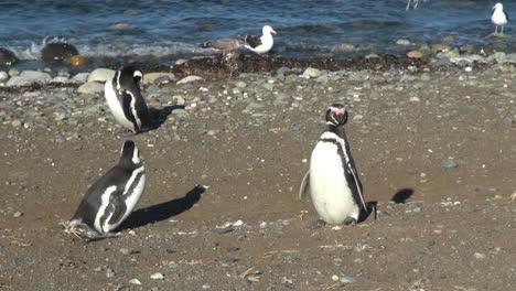 Patagonia-Magdalena-penguins-show-plumage-14b